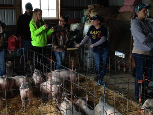 Selecting Hogs for the Colville Fair